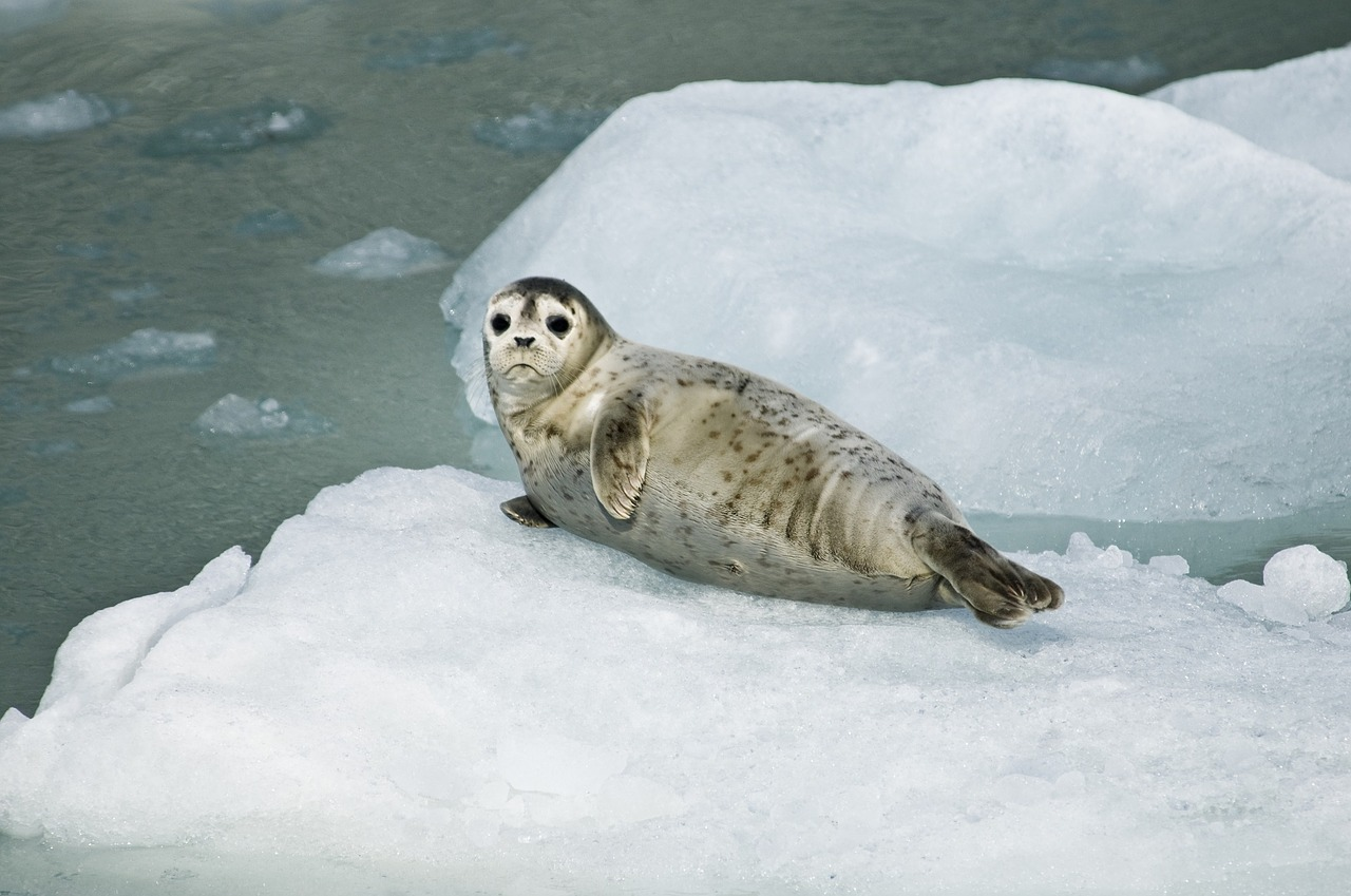 harbor-seal-981732_1280
